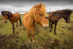 Three-Icelandic-Horses---Colour-SZP-JK.jpg